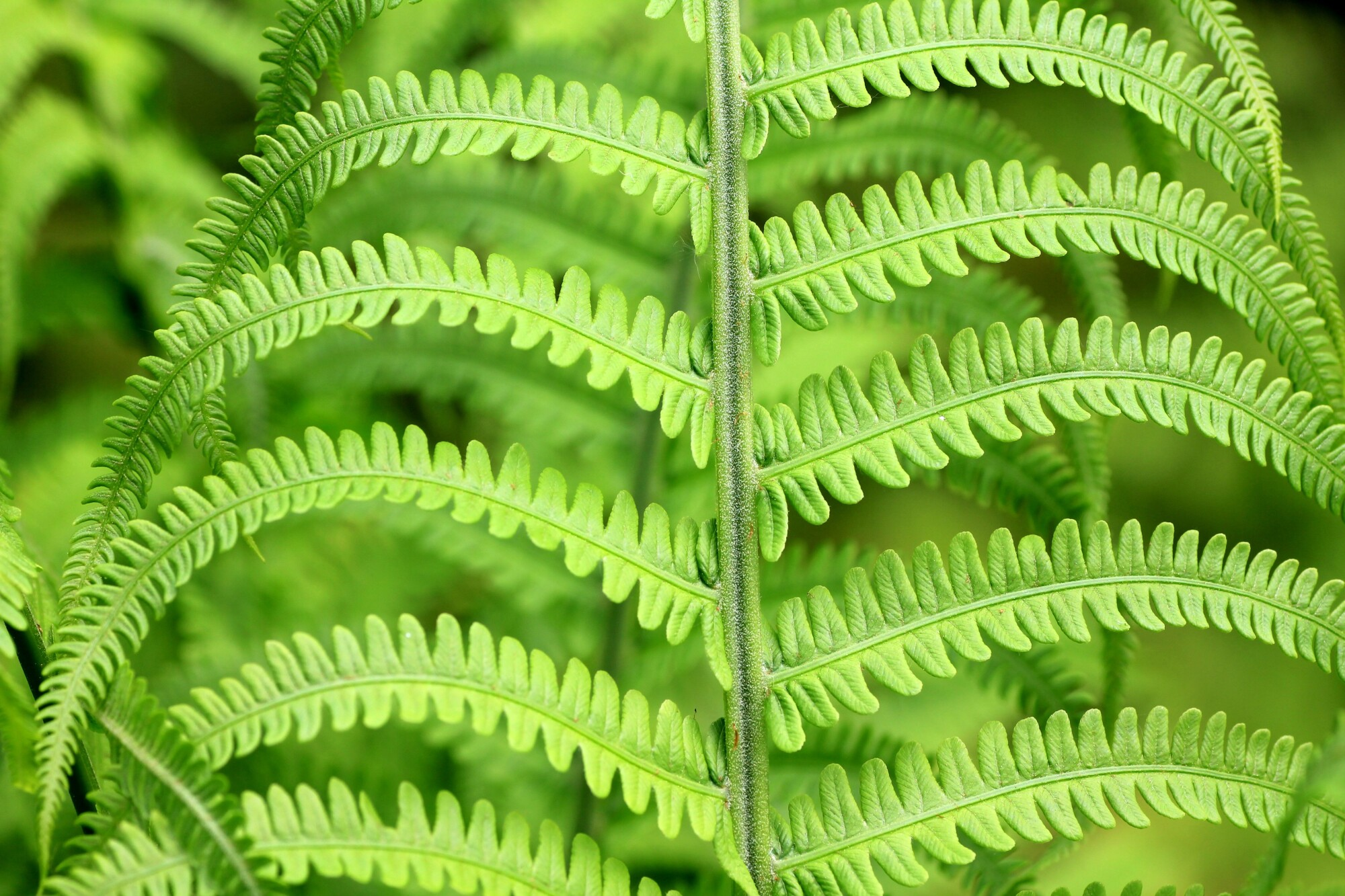 Should I place a fern in my house? Do ferns require a lot of care? Read on to discover the truth about ferns as houseplants here.